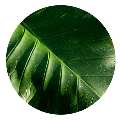 folha da taioba