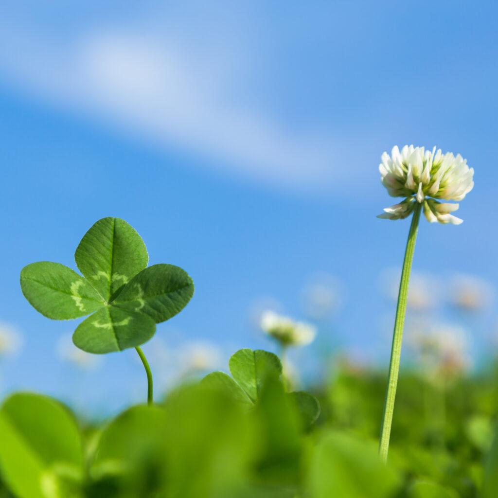 a imagem mostra um trevo e sua flor. o trevo ou azedinha é uma das plantas indicadoras mais comuns em nossos jardins e apontam terra argilosa, de pH baixo, com deficiência de Cálcio e Molibdênio.